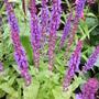 Salvia x sylvestris 'Blue Queen' (Salvia x sylvestris Blue Queen)