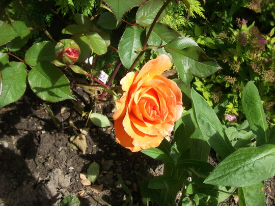 Rose Doris Tysterman hybrid tea tangerine orange (Rose Doris Tysterman)