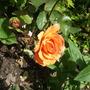Doris_tysterman_hybrid_tea_rose_tangerine_with_paler_edges