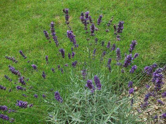 Lavandula angustifolia'Hidcote' (English Lavender) planted last year (Lavandula angustifolia Hidcote)