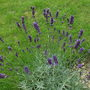 English Lavender planted last year (Lavandula x intermedia (English Lavender))