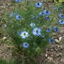 For Terratoonie - Nigella Love-in-a-Mist (Nigella damascena)