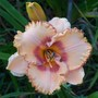 Daylily cross - Pure & Simple X Monet's Garden