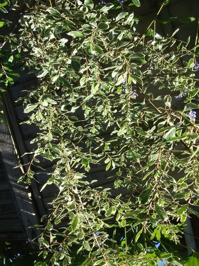 Rhamnus alaternus 'argenteovariegata' (Italian buckthorn) evergreen shrub reaches 4 m (Rhamnus AL. Argenteovarirgata)