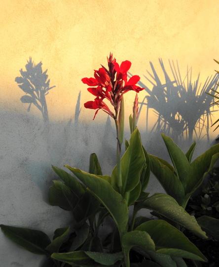 Canna 'Lucifer' (Canna indica (Indian shot plant))