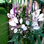 Cleome flowering on terrace. (Cleome hassleriana (Spider flower))