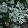 Queen Anne&#x27;s lace