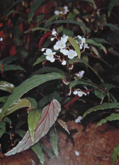 B.boisiana (Begonia boisiana)