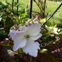 New Hydrangea is starting to flower now. (Hydrangea macrophylla (Hortensia))