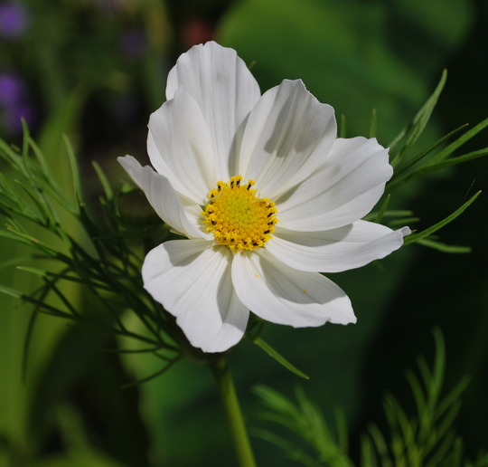 Cosmos Purity..... (Cosmos atrosanguineus (Chocolate cosmos))