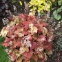 Heucherella 'Sweet Tea' (Heucherella)