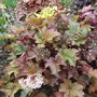 Heuchera_metallica_2_