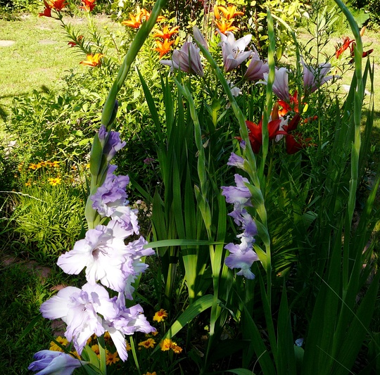 Gladioli and lilies in central bed. (Gladiolus grandiflorus)