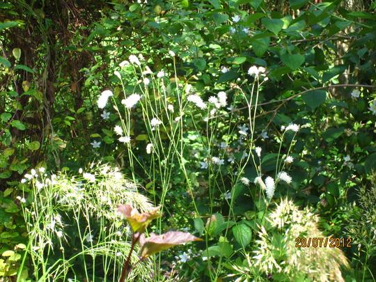 sanguisorba tenuifolia alba (sanguisorba tenuifolia alba)