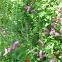 Sanguisorba hakusanensis (sanguisorba hakusanensis)