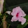 """Pandorea jasminoids """"Rosea"""" (Pandorea jasminoides (Bower Vine))"""