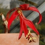Sprekelia formosissima (Sprekelia formosissima)