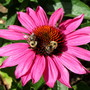 Bees and butterflies at war over the echinacea!