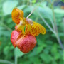 """Another plant with the word """"weed"""" in it's name:  Jewelweed"""