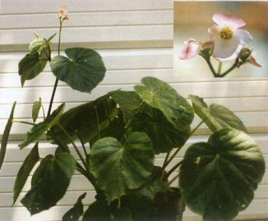 Begonia chitoensis (Begonia chitoensis)