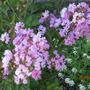 "Crepe Myrtle 'Petite Orchid' (Lagerstroemia indica ""Monbid'`)"
