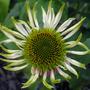 Echinacea Fragrant Angel