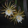 Hylocereus undatus -  Dragon Fruit, Pitaya Flowering (Hylocereus undatus -  Dragon Fruit, Pitaya)
