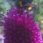 Bee_on_allium