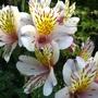 Alstroemeria (Alstroemeria 'Princess Hybrids')