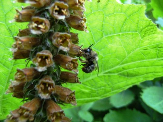 Bee enjoying Chocolate Foxglove. (Digitalis parviflora 'Milk chocolate')