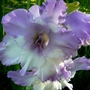 Blue and white gladiolus flower. (Gladiolus grandiflorus)