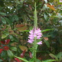 PHYSOSTEGIA &#x27;Bouquet Rose&#x27; (Obedient Plant) An unusual plant, the flowers can be moved around and then stay where you move them to. (Physostegia virginiana (Obedient plant))