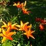Orange lilies (Lilium vivaldi)