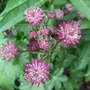 Astrantia_moulin_rouge_