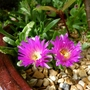 For my records... (Lampranthus spectabilis (Trailing Ice Plant))