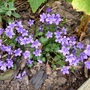 For my records... (Campanula portenschlagiana)