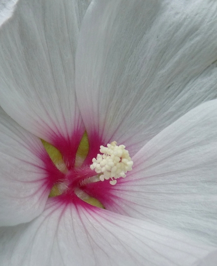For my records....a new Lavatera flower (Lavatera x clementii (Tree mallow))