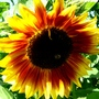 Schizoprenic sunflower. (Helianthus annuus (Sunflower))
