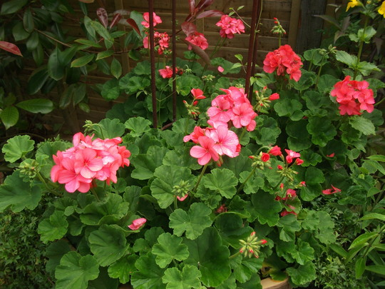 Pelargoniums (geranium) in large tub