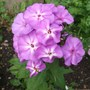 Phlox_paniculata_sky_light