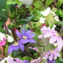 Scaevola s (Scaevola (Fairy fan Flower))