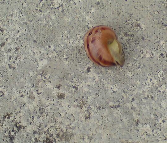 Strange coloured snail I found today!