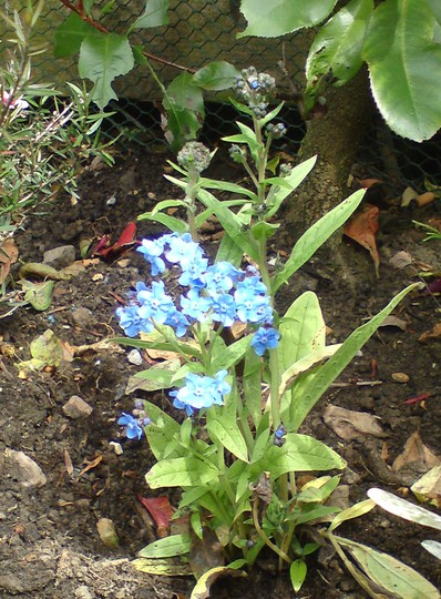 Chinese Forget-me-nots