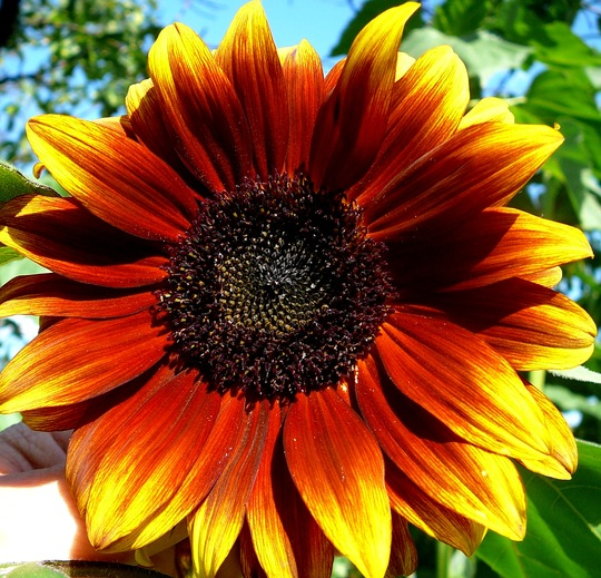 Sunflower with more red in it. (Helianthus annuus (Sunflower))