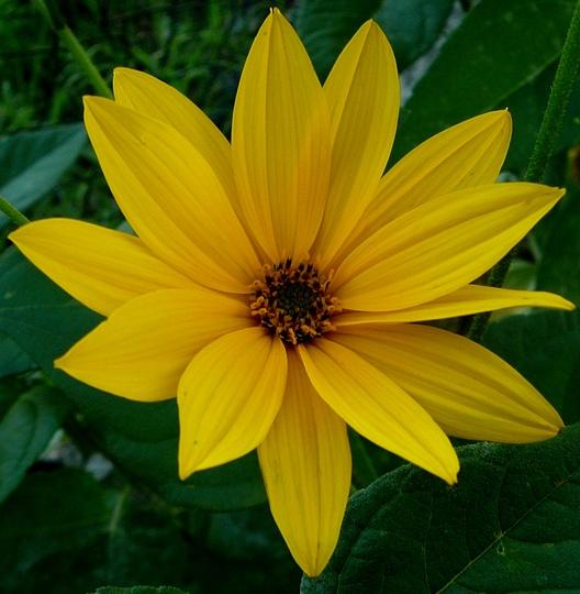 Tall yellow daisies. (Rudbeckia speciosa (Showy Coneflower))