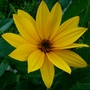 Tall yellow daisies. (Rudbeckia speciosa (Showy Coneflower))