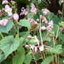 Begonia grandis (Begonia grandis)