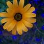 African daisy in lobelia (Dimorphotheca sinuata (African Daisy))