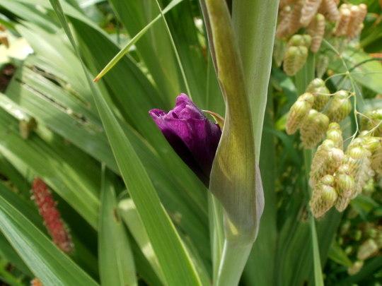 rescued Glad (gladiolus)