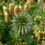 Echinops (Echinops ritro (Globe thistle))